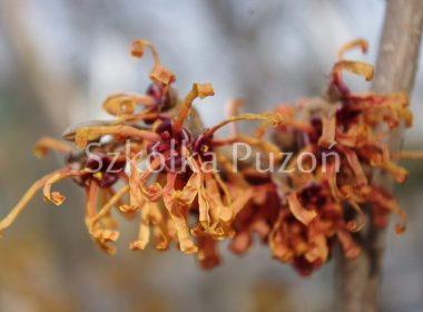 Hamamelis x intermedia (oczar pośredni) 'Jelena' (wiosna)