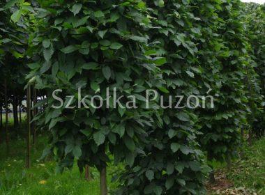 Carpinus betulus (grab pospolity) (formowany)