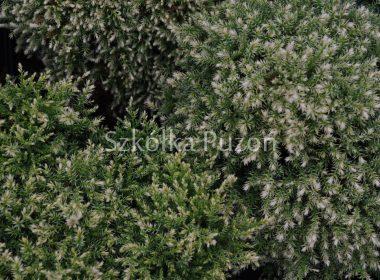 Chamaecyparis pisifera (cyprysik groszkowy) 'Snow'