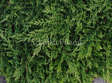 Juniperus horizontalis (jałowiec płożący) 'Golden Carpet'