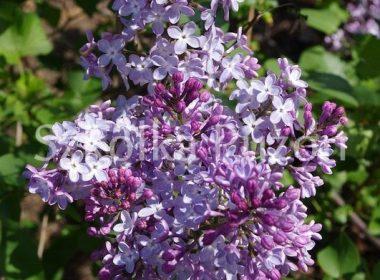 Syringa vulgaris (lilak pospolity)