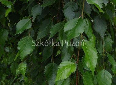 Betula utilis (brzoza pożyteczna) 'Long Trunk'