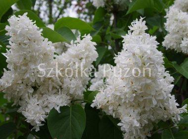Syringa vulgaris (lilak pospolity) 'Madame Lemoine'