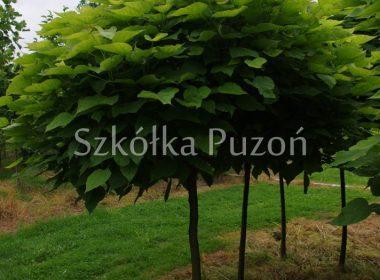 Catalpa bignonioides (surmia bignoniowa) 'Nana'