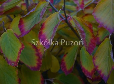 Hamamelis x intermedia (oczar pośredni) 'Pallida' (jesień)