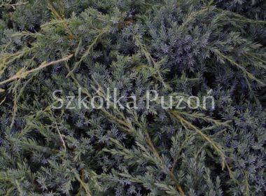 Juniperus squamata (jałowiec łuskowy) 'Blue Carpet'