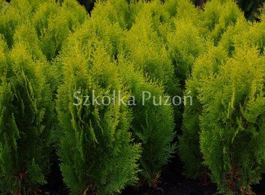 Platycladus orientalis (żywotnik wschodni) 'Aurea Nana'