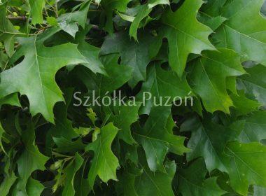 Quercus palustris (dąb błotny) 'Green Dwarf'