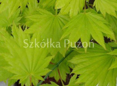 Acer shirasawanum (klon Shirasawy) 'Aureum'