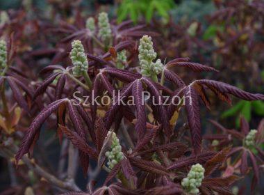 Aesculus pavia (kasztanowiec krwisty) 'Koehnei' (wiosna)