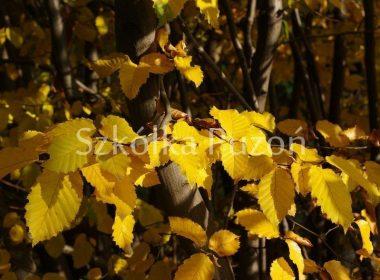 Carpinus betulus (grab pospolity) (jesień)