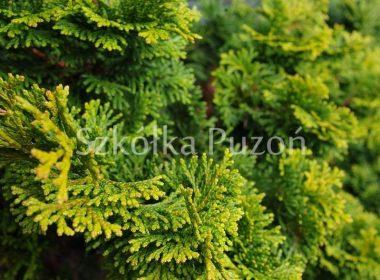Chamaecyparis obtusa (cyprysik tępołuskowy) 'Nana Aurea'