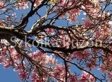 Magnolia x soulangeana (magnolia Soulange'a) 'Alexandrina'