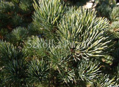 Pinus parviflora (sosna drobnokwiatowa) 'Negishi'