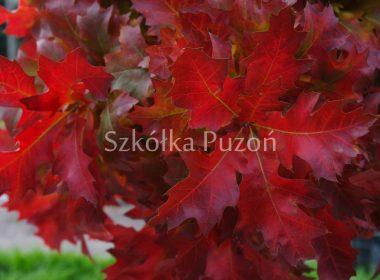 Quercus palustris (dąb błotny) 'Green Dwarf' (jesień)