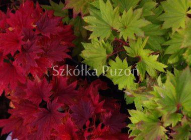 Acer shirasawanum (klon Shirasawy) 'Aureum' (jesień)