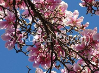 Magnolia x soulangiana (magnolia pośrednia) 'Alexandrina'