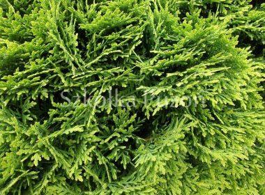Thuja occidentalis (żywotnik zachodni) 'Danica'