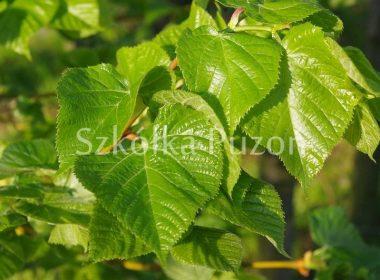 Tilia caucasica (lipa kaukaska) (wiosna)