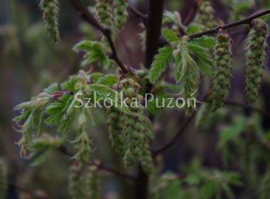 Carpinus betulus (grab pospolity) 'Quercifolia' (wiosna)