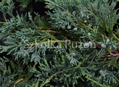 Juniperus horizontalis (jałowiec płożący) 'Wiltonii'