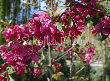 Malus (jabłoń) 'Royalty'