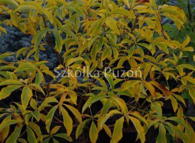 Aesculus pavia (kasztanowiec krwisty) 'Koehnei' (jesień)