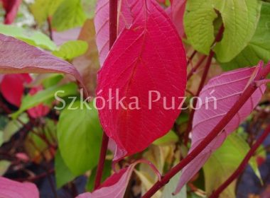 Cornus alba (dereń biały) 'Aurea' (jesień)