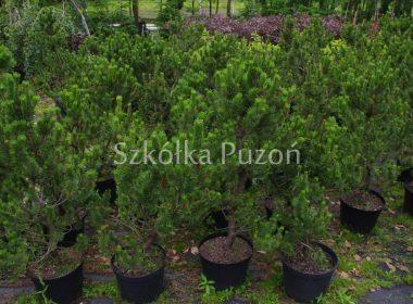 Pinus mugo (sosna górska) 'Concorta'