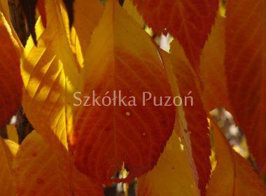 Prunus serrulata (wiśnia piłkowana) 'Amanogawa' (jesień)