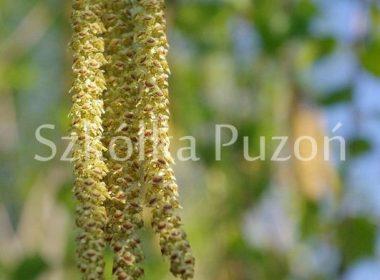Betula utilis (brzoza pożyteczna) 'Long Trunk' (wiosna)