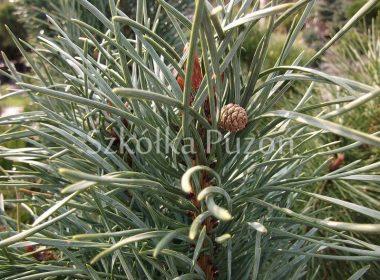 Pinus sylvestris (sosna pospolita) 'Fastigiata'