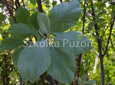 Sorbus aria (jarząb mączny) 'Magnifica'