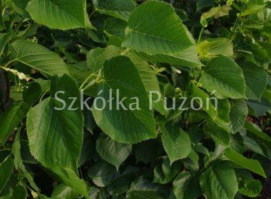 Tilia caucasica (lipa kaukaska)
