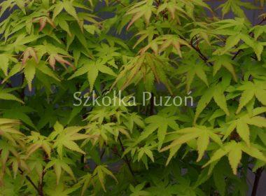 Acer palmatum (klon palmowy) 'Aureum'