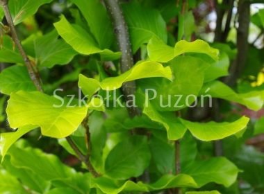 Fagus sylvatica (buk pospolity) 'Dawyck Gold'