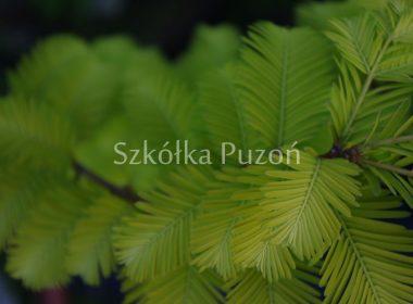 Metasequoia glyptostroboides (metasekwoja chińska) 'Goldrush'