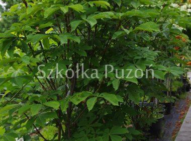 Aesculus hippocastanum (kasztanowiec biały) 'Pyramidalis'