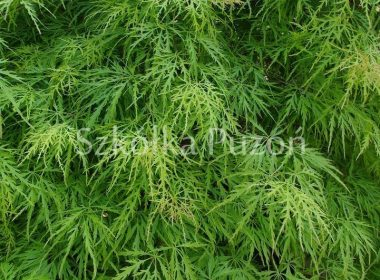 Acer palmatum (klon palmowy) 'Dissectum'