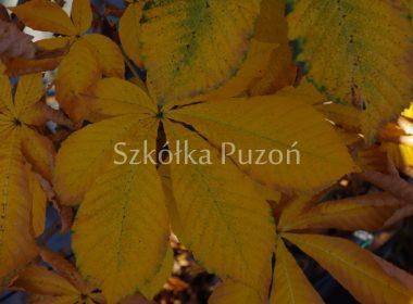 Aesculus hippocastanum (kasztanowiec biały) 'Pyramidalis' (jesień)