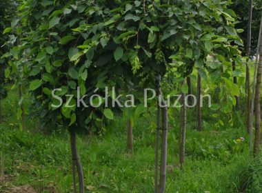 Carpinus betulus (grab pospolity) 'Pendula'