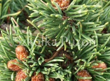 Pinus mugo (sosna górska) 'Jakobsen'