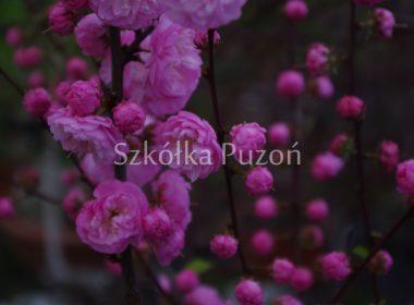Prunus triloba (migdałowiec trójklapowy)