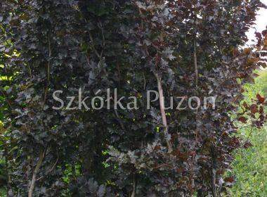 Fagus sylvatica (buk pospolity) 'Rohan Obelisk'