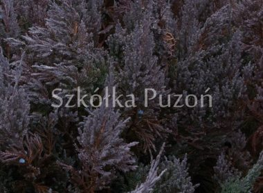 Juniperus horizontalis (jałowiec płożący) 'Blue Forest' (zimą)