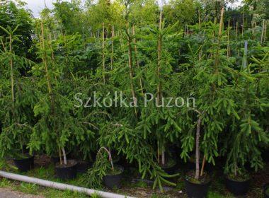 Picea abies (świerk pospolity) 'Inversa'