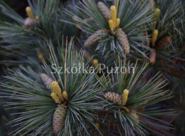 Pinus strobus (sosna wejmutka) 'Radiata'