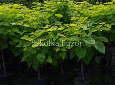 Catalpa bignonioides (surmia bignoniowa) 'Aurea'