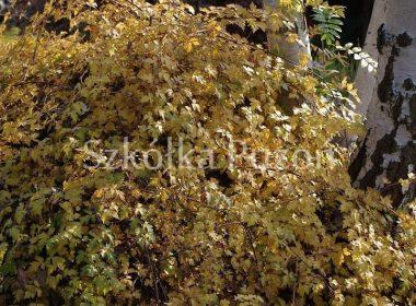 Stephanandra incisa (tawulec pogięty) 'Crispa' (jesień)