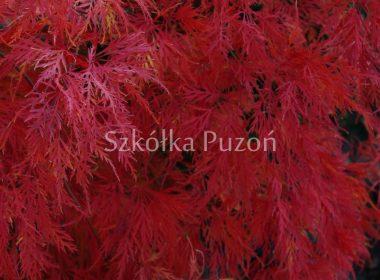 Acer palmatum (klon palmowy) 'Dissectum' (jesień)